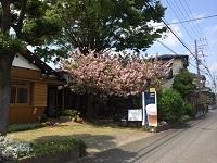 八重桜2014-04-24-2-2c.jpg