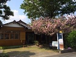 八重桜2014-4-24-1-2c.jpg